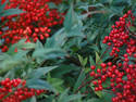 Red Berries, 4 entries