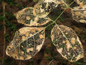 Leaf Skeleton, 3 entries
